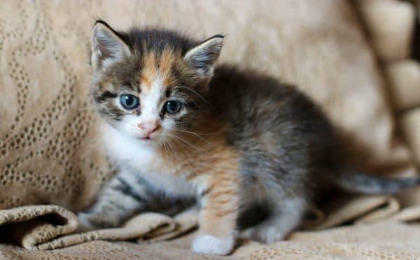 Трехцветный красивый котенок