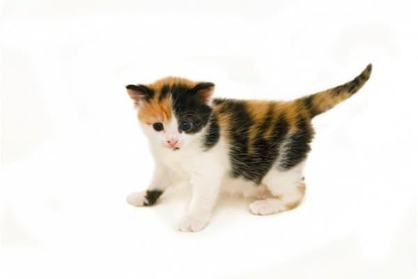 Трехцветный милый котенок
