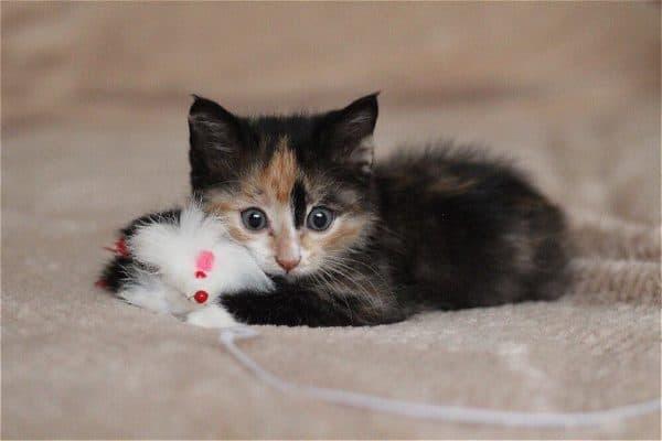 Трехцветный удивительный котенок