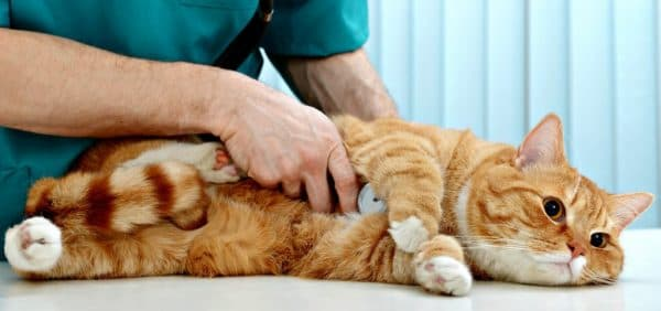 У кошки гипертрофическая кардиомиопатия