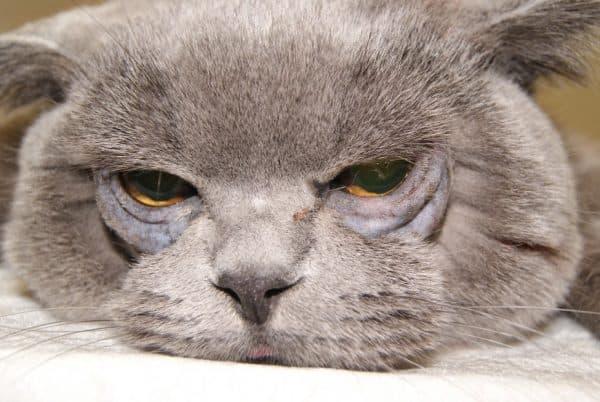 Заворот век у кошек