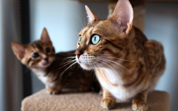 Как помочь кошке в период течки читайте статью