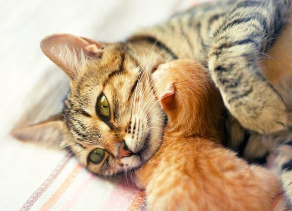 Как принять роды у кошки правильно. Дата рождения малышей