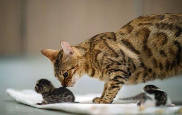 Как принять роды у кошки правильно. Советы по питанию