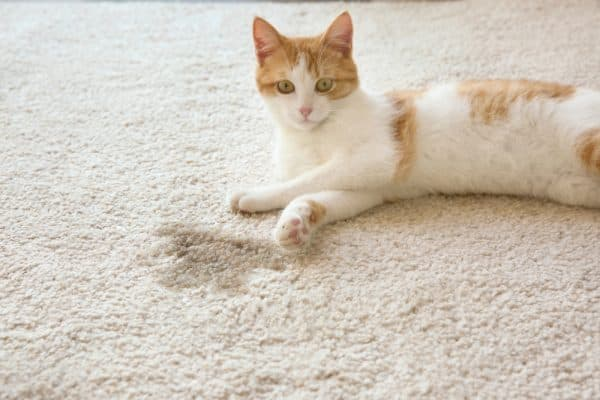 Как выводить запах кошачьей мочи. Готовые средства