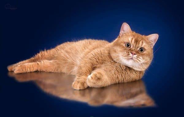 Кошки-британцы рыжие