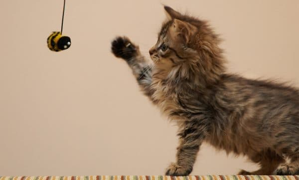 Котенок играет с игрушкой