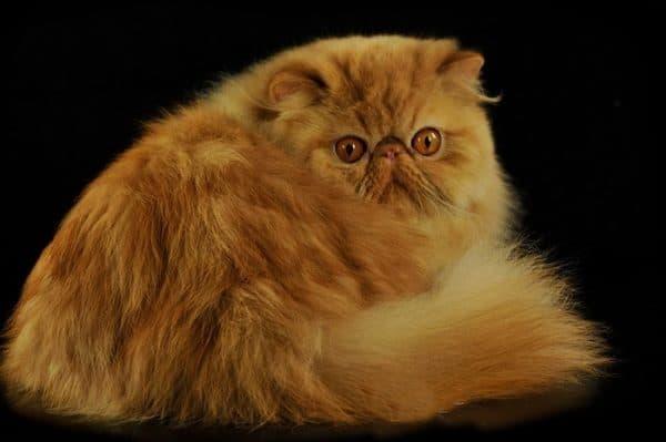 Персидские рыжая кошка