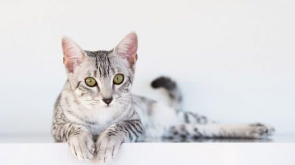 Первая течка у кошки. Анэструс