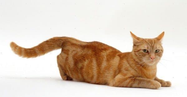 Первая течка у кошки. Эструс