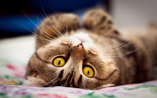Первая течка у кошки. Фазы цикла