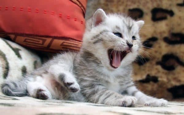 Поддержание здоровья котенка