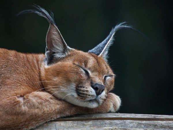 Породы кошек с кисточками на ушах читайте статью