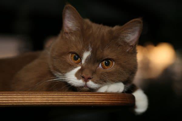 Сколько лет живут кошки в домашних условиях читайте статью