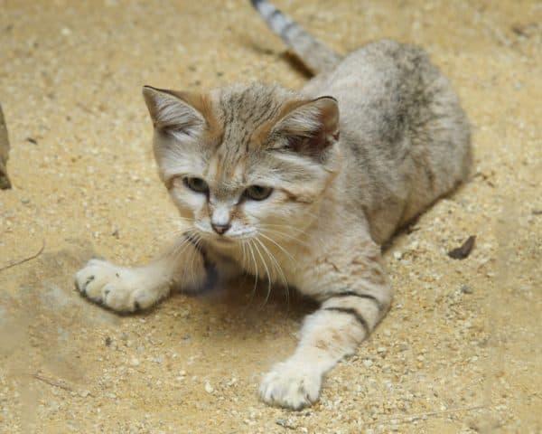 Барханный кот маленький