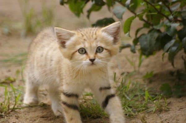 Барханный кот. Размножение