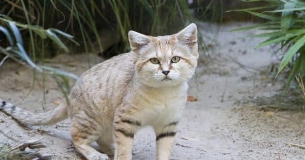Барханный кот. Содержание в домашних условиях