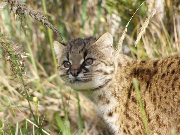 Чилийская кошка (кодкод) читайте статью