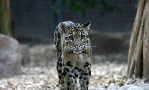 Дымчатый леопард читайте статью