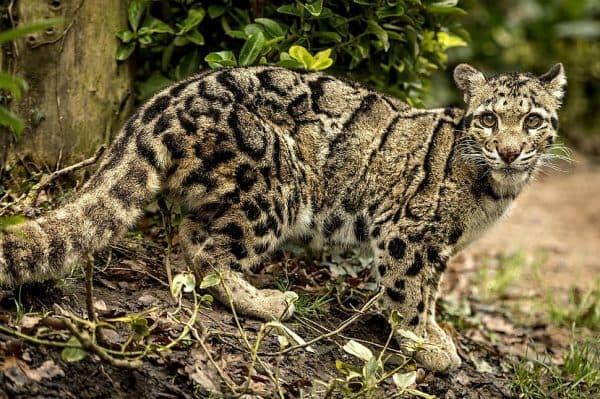 Дымчатый леопард описание