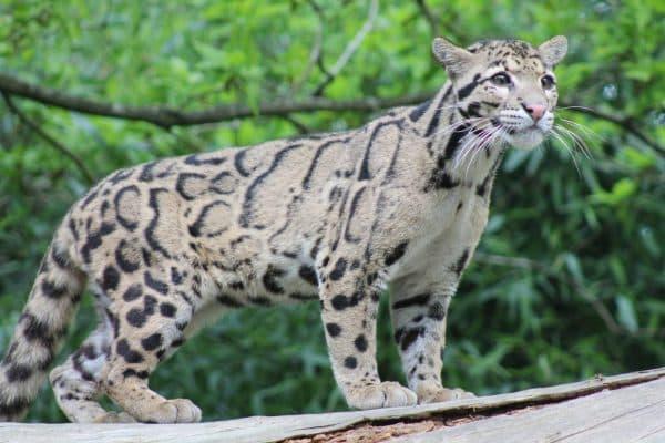 Дымчатый леопард. Беременность и роды