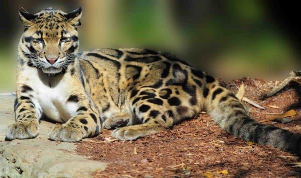 Дымчатый леопард. Длительность жизни