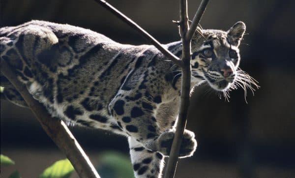 Дымчатый леопард. Особенности содержания
