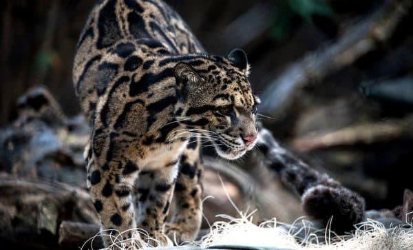 Дымчатый леопард. Среда обитания
