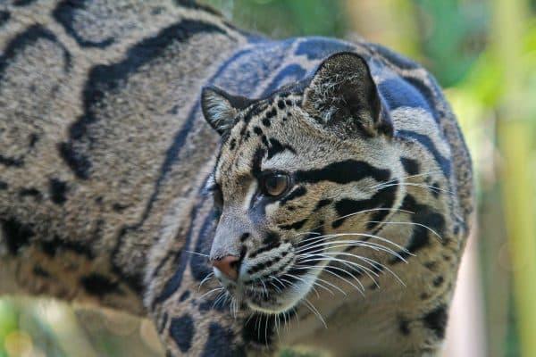 Дымчатый леопард. Угрозы для жизни в дикой природе