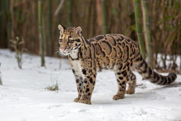 Дымчатый леопардик