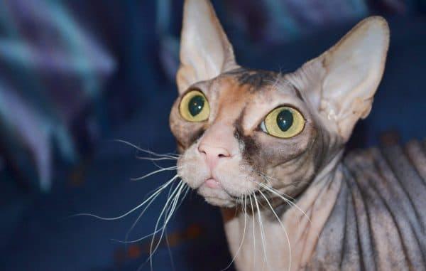 Египетские кошки