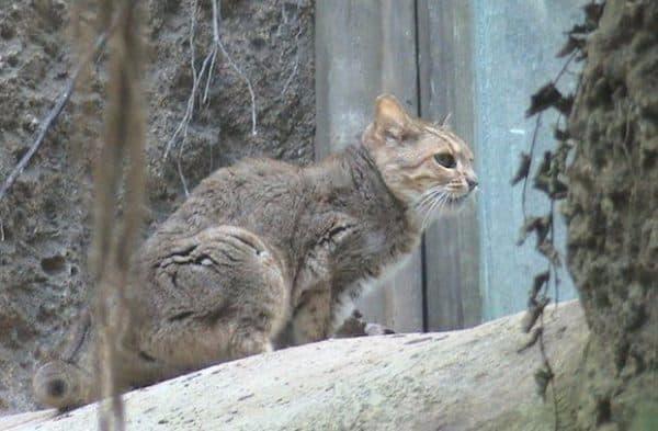Гобийская серая кошка красивое фото