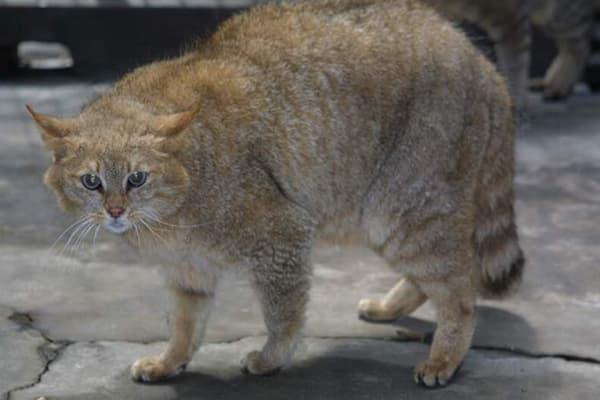 Гобийская серая кошка