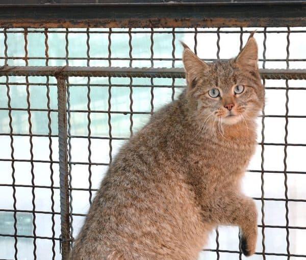 Кошка гобийская серая