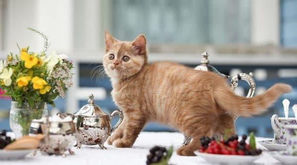 Кот гуляет по столу