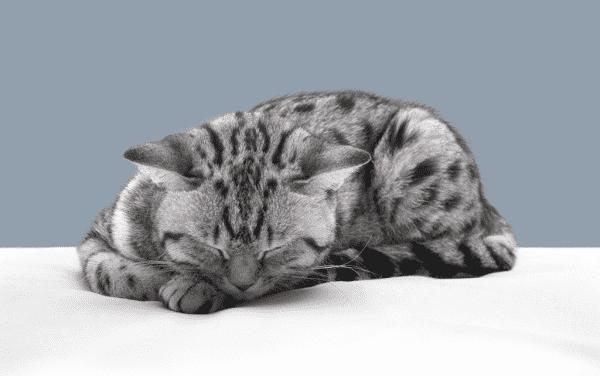 Кот умирает