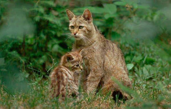 Красивая гобийская серая кошка