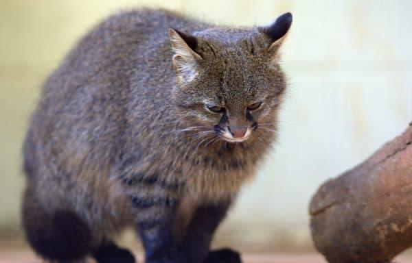 Красивая пампасская кошка