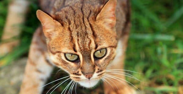 Красивая ржавая кошка