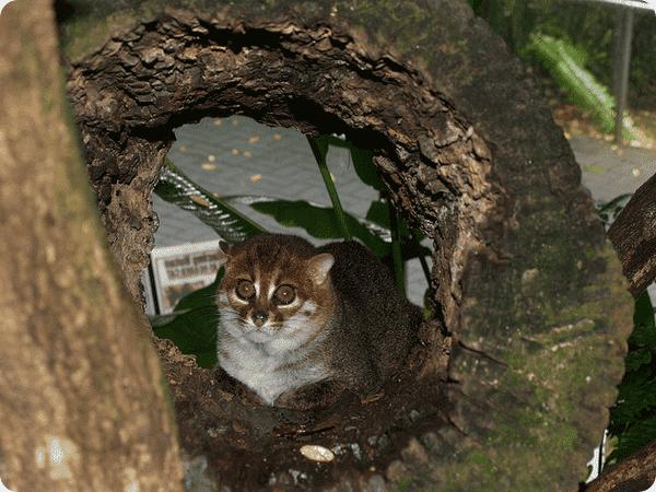 Красивая суматранская кошка