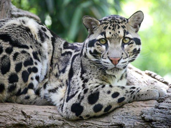 Красивый дымчатый леопард