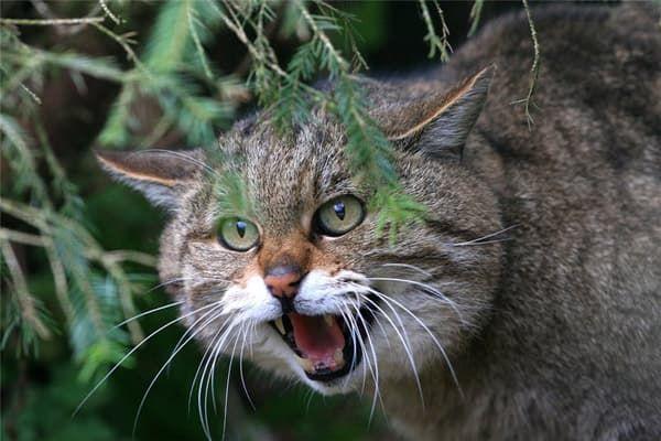 Лесная кошка (лесной кот)