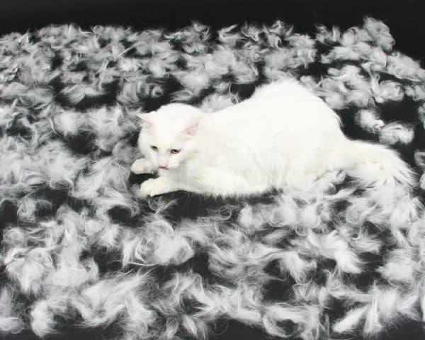 Линька у кошек. Функции шерстного покрова