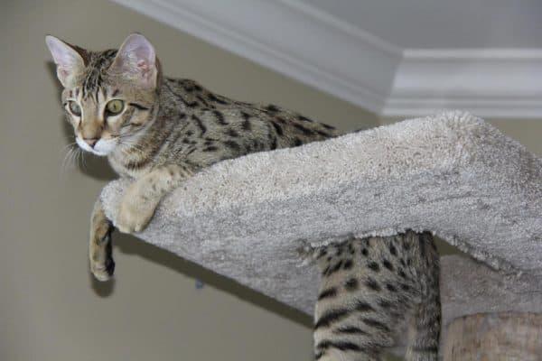 О здоровье сафари кошек