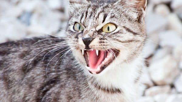 Почему кошки шипят