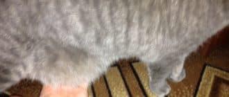 Почему у кота висит кожа на животе. Норма или патология