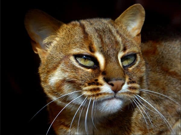 Прекрасная ржавая кошка