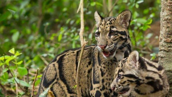 Прекрасный дымчатый леопард