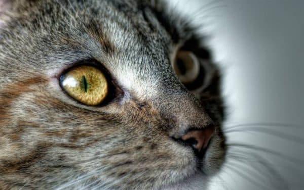 Причины сужения зрачков у кошки