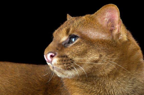 Puma yagouaroundi eyra